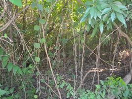 Foto de terreno habitacional en venta en los arboles tulum , coba, tulum, quintana roo, 0 No. 01