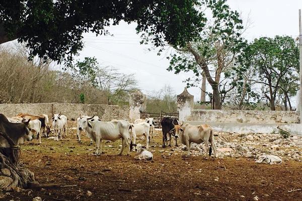 Foto de rancho en venta en cacalchén , cacalchen, cacalchén, yucatán, 3628421 No. 15